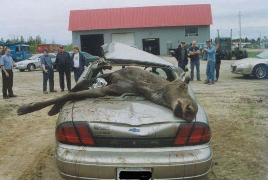 moose mows over car in a serios car wreck