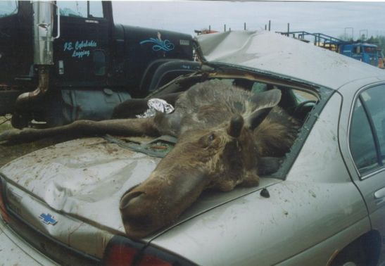 poor-moose-hits-car-2.jpg