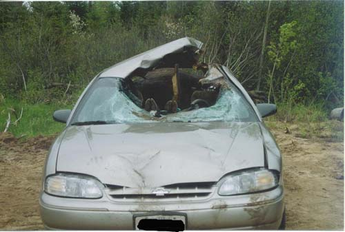 moose involved in auto accident