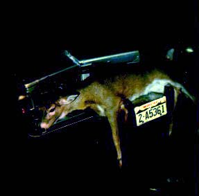 Deer Accident with deer stuck in grill