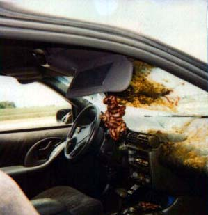 Deer guts after deer car accident